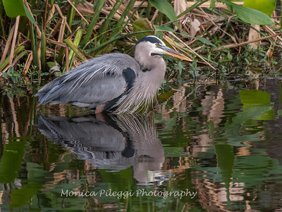 Great Blue Heron Jan 2018-1117
