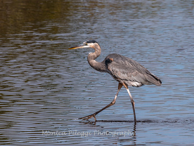 Great Blue Heron Jan 2018-1411