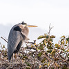 Great Blue Heron Jan 2018-0959