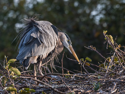 Great Blue Heron Jan 2018-1031