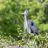 Great Blue Heron Jan 2018-8901