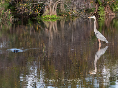 Great Blue Heron Jan 2018-0952