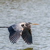Great Blue Heron Jan 2018-0871