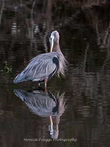 Great Blue Heron Jan 2018-1145
