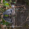 Great Blue Heron Jan 2018-1120