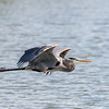 Great Blue Heron Jan 2018-0872