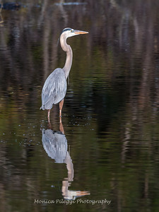 Great Blue Heron Jan 2018-0944