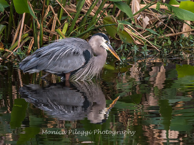 Great Blue Heron Jan 2018-1116