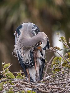 Great Blue Heron Jan 2018-9032