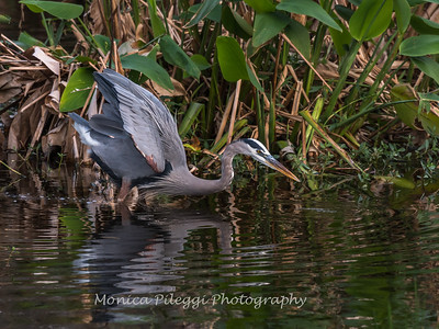 Great Blue Heron Jan 2018-1112