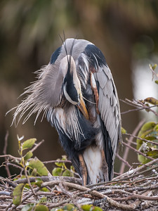 Great Blue Heron Jan 2018-9031