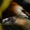 Great Crested Grebe russellfinneyphotography (1)