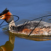 Great Crested Grebe russellfinneyphotography (3)