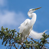 Great Egrets 2 May 2017 -3958
