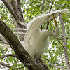Great Egrets 2 May 2017 -4019