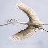 Great Egrets 2 May 2017 -3918