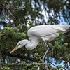 Great Egrets 2 May 2017 -4144