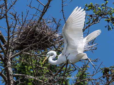 Great Egrets 2 May 2017 -4444