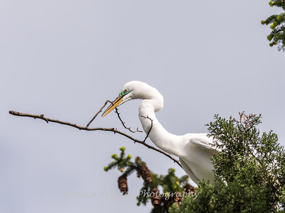 Great Egrets 2 May 2017 -3914