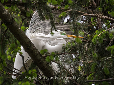 Great Egrets 2 May 2017 -4262