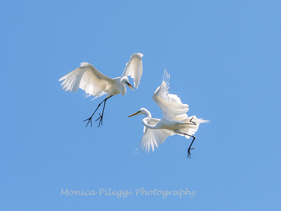 Great Egrets 2 May 2017 -4514
