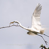 Great Egrets 2 May 2017 -3916