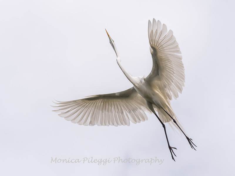 Great Egrets 2 May 2017 -3905