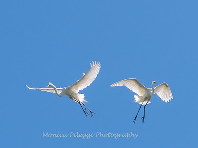 Great Egrets 2 May 2017 -4525