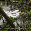 Great Egrets 2 May 2017 -4277