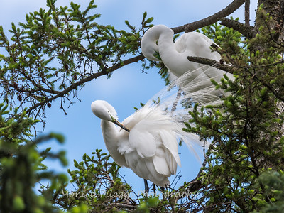 Great Egrets 2 May 2017 -4382