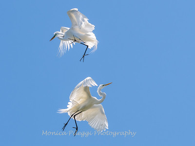 Great Egrets 2 May 2017 -4512