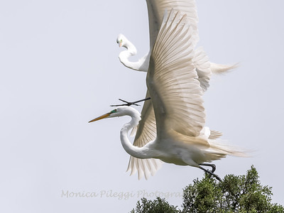 Great Egrets 2 May 2017 -4394
