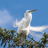 Great Egrets 2 May 2017 -3956