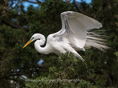 Great Egrets 2 May 2017 -3988