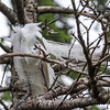 Great Egrets 2 May 2017 -4191