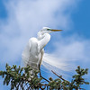 Great Egrets 2 May 2017 -3961