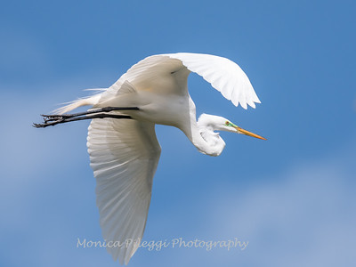 Great Egrets 2 May 2017 -4424