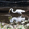 Herons Patuxent NT 24 Aug 2018-5699