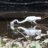 Herons Patuxent NT 24 Aug 2018-5697