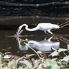 Herons Patuxent NT 24 Aug 2018-5698