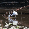 Herons Patuxent NT 24 Aug 2018-5693