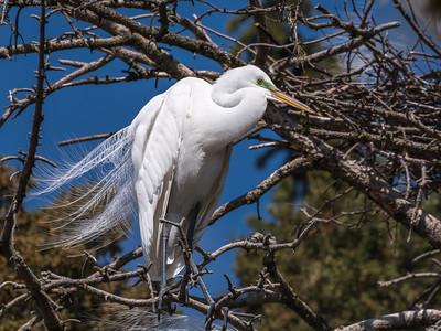 Great Egrets 8 Apr 2018-5504