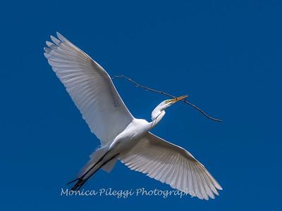 Great Egrets 8 Apr 2018-5215