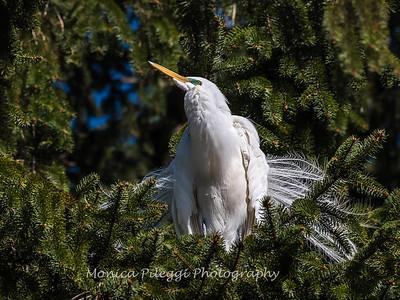 Great Egrets 8 Apr 2018-5183