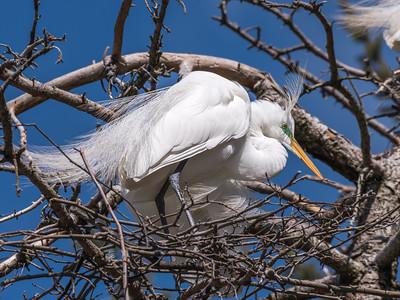 Great Egrets 8 Apr 2018-5507