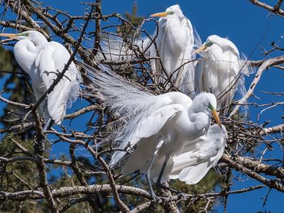 Great Egrets 8 Apr 2018-5231