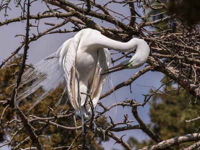 Great Egrets 8 Apr 2018-5496