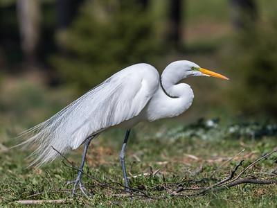 Great Egrets 8 Apr 2018-5448