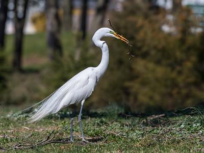 Great Egrets 8 Apr 2018-5452