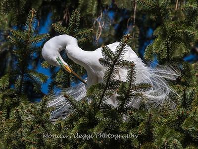Great Egrets 8 Apr 2018-5159